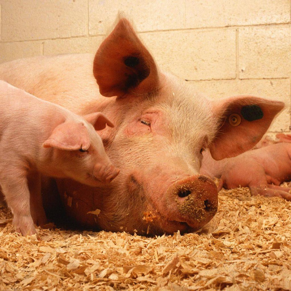 pigs-387204_1920_600